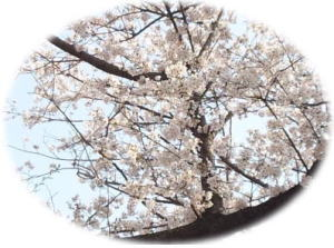 image of Cherry blossoms:桜の花